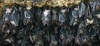 Fruit Bats - Igacos Bats - Geoffrey's Rousette -  Rousettus Amplexicaudatus