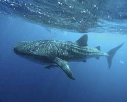Butanding Philippines - Philippines Whale Sharks