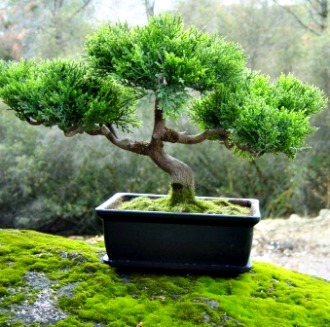 The Art of Growing Miniature Trees