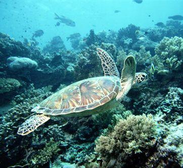 sea turtle - olive ridley turtle