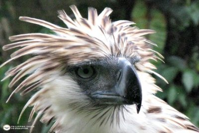 Philippine Eagle Abounds in the Rich Forests of Taft, Eastern Samar