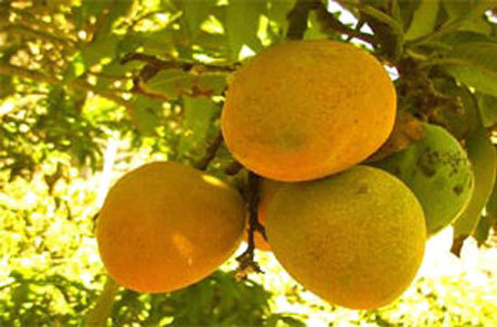 Huani: The Fragrant Mango