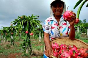 Ilocos Norte Philippines Ilocandia's Fruit Farm