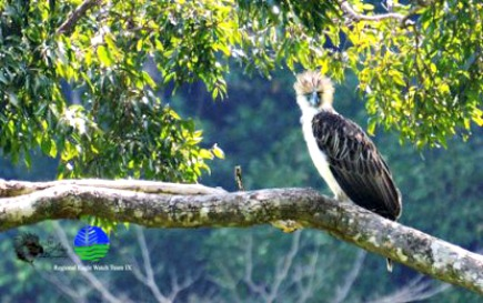 Philippine Eagle - Scientific Name Pithecophaga Jefferyi