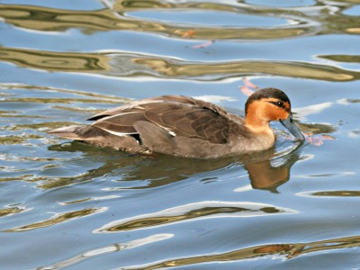 Philippine Duck, Lake Manguao, Northern Palawan Island