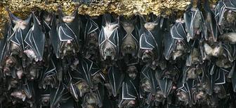 Igacos Bats - Geoffrey's Rousette -  Rousettus Amplexicaudatus - Fruit Bats