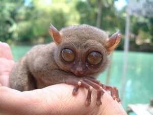 Environmentally Sustainable Tourism - Bohol Philippines Tarsier