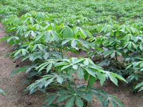 Cassava and Malunggay - Health Benefits of Reserve Foods for Filipinos