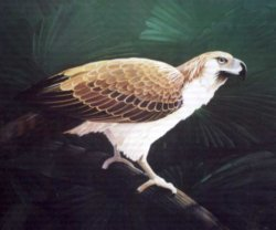 Symbols of the Philippines - Philippine Eagle