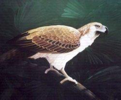 Symbols of the Philippines - Philippine Eagle